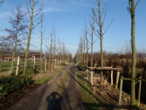 special pruning avenue trees